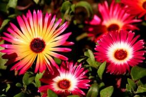 Livingstone daisy 2